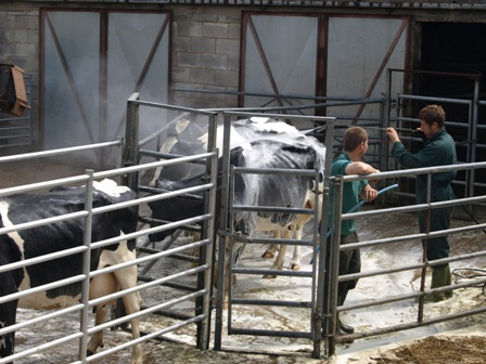 Shampoo and set for cows at Hoe Grange