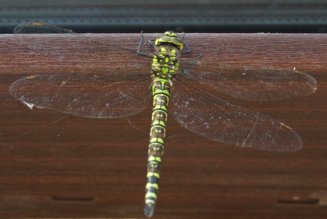 Beautiful dragonfly takes a rest