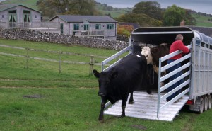 New cows arrive at Hoe Grange