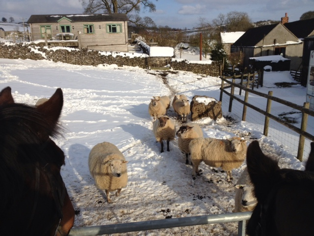 sheep in snow at Hoe Grange