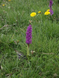 Wild Orchid in full bloom