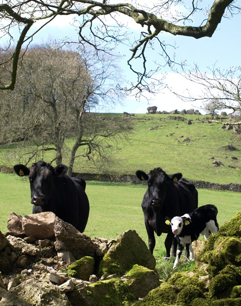 cows with calf