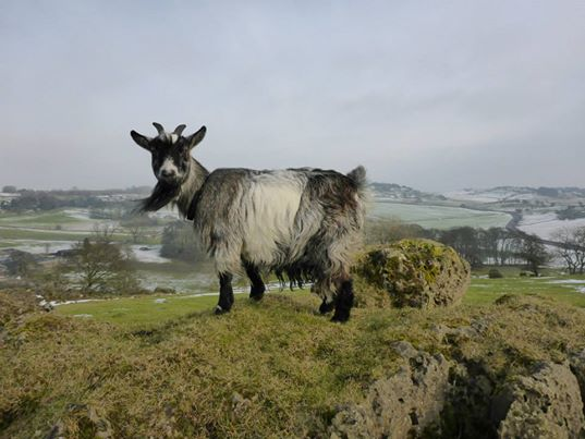 pygmy goat at Hoe Grange