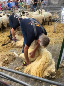 shearing sheep by hand