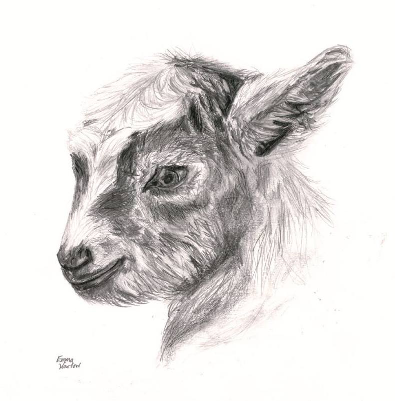 drawing of baby goat