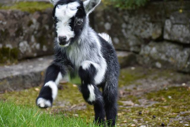 Kid goat leapingWeb