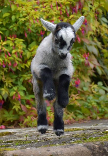 Kid goat springingWeb