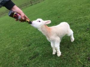 Beer fed lamb?