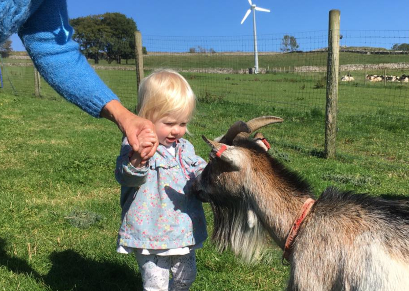 meeting pygmy goat