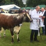 cow at Ashbourne Show