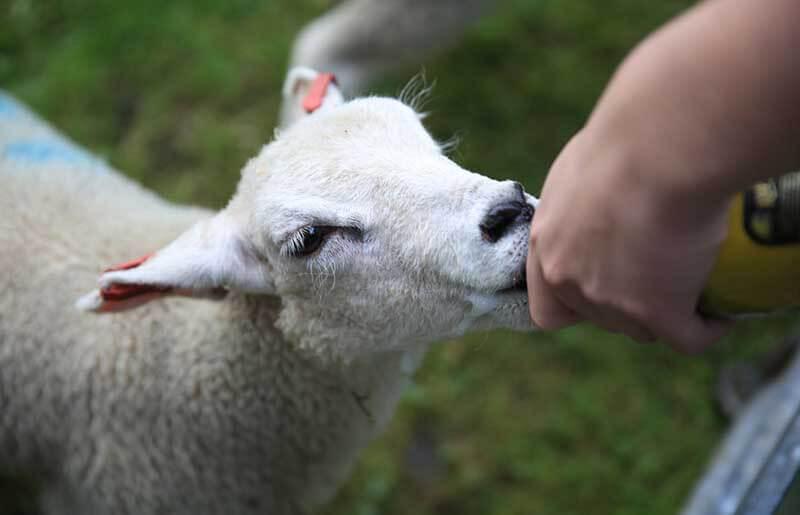 stay on a farm feeding lamb