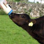 farm holidays feeding new born calf