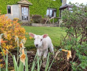 Lamb in garden