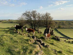 suckler cows at Hoe Grange Farm